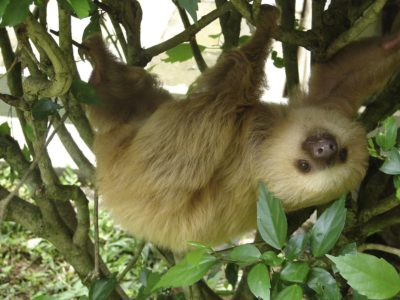 1200px-2_toed_sloth